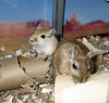 Buster &amp; Herman the Gerbils : These photos are of Buster and Herman. We adopted Buster from the Capital Humane Society in July 2006, and we adopted Herman from Double Star Kennels in August 2006. Herman is Nellie's nephew and came to Twin Squeaks to be Buster's new friend. :)